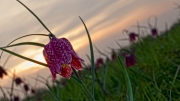 fritillary by terry-walters