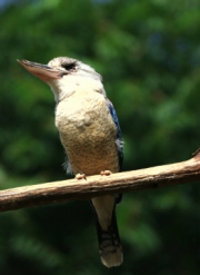 cookaburough by john-parsloe
