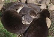 otters by john-parsloe