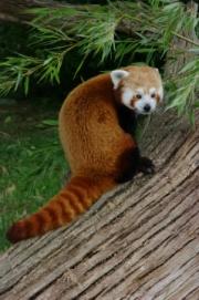 red-panda by john-parsjoe