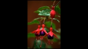 fuchsia1 by paddy-bohan