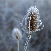frosty-teasel by steve-edwards