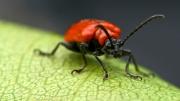 red-beetle by jim-bullock