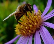purple-bee by katherine-davis