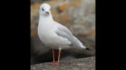 seagull by lyn-day