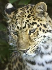Leopard by John Parlsoe