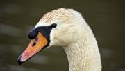 Swan Portrait by Terry Walters