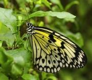 Swallowtail by John Parsloe