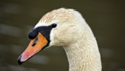 Swan Portrait by Terry Walters