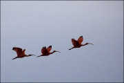 Scarlet Ibis by Steve Edwards
