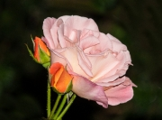 Rose by Alex Cranswick