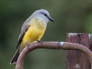 Tropical Kingbird by Alex Cranswick
