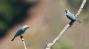 Blue Gray Tanagers by Alex Cranswick