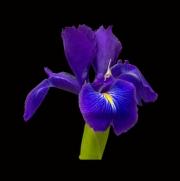 Iris by Tony Marson
