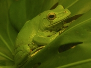 Chinese Gliding Frog by John Parsloe