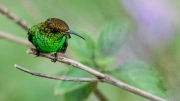 Coppery Headed Emerald by Alex Cranswick