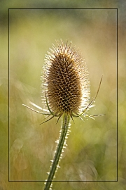 Teasel by Terry Walters
