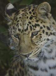 Leopard by John Parsloe