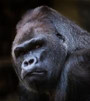Gorilla by Nick Pitt