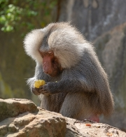 Hamadryas Baboon by Terry Walters