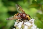 Hornet Hoverfly_Nic Jansen