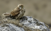 Juvenile Kestrel Cornwall by Eddy Lane