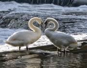 Swans In Love by Maurice Pitt