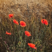 Barley Field Poppies by Mike Stanley