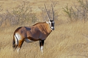Black Faced Oryx, Namibia by Pam Lane