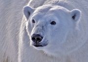 Polar Bear Close Up, Svalbard by Pam Lane