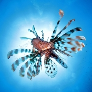 Lionfish by Gill Marsh