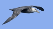 002 Southern Giant Petrel by Gill Marsh