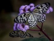 008 Butterflies by Nick Pitt