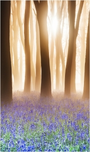 Bluebell Woods at sunrise by Anna Stowe