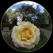 Fisheye Rose by Gill Marsh
