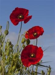 Poppies by Jim Bullock