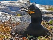 Cormorant on Nest by David Foxwell