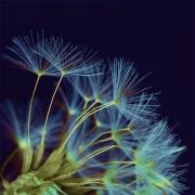 Dandelion Seed Head by Jim Bullock