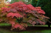 Acer by Paddy Bohan