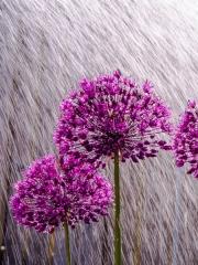Allium Shower by Tony Marson