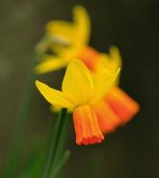 Daffodill by Paddy Bohan