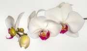 Orchid Flowers by Jim Bullock