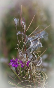 Rose Bay Willow Herb by Lyn Day