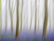 Bluebell Wood by Mike Buy