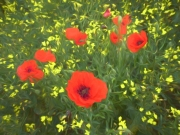 Dreaming of Poppies by Mike Buy