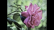 Rose Trying Not To Blush by John Day