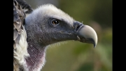 Vulture by Lesley Hunt