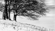 Treees in the Snow by Anna Stowe