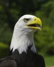 Bald Eagle by John Parsloe