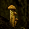 Bulbous Honey Fungus by Cathy FitzHerbert